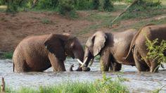Two young elephant bulls playing in the water. #madikwe #southafrica #africa #südafrika #afrika #elephants #elefanten #elephant #bigfive #wildlife #africanwildlife #safari #gamedrive