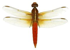 Deep Red Dragonfly Vinyl Wall Decal Sticker by WilsonGraphics, $3.00
