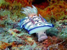 Chromodoris sp, nudibranch