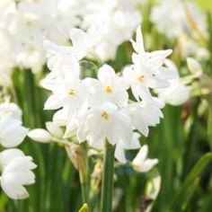 Paperwhites Daffodils Planting, Planting Bulbs, Daffodil Bulbs, Bulb Flowers, Tulip Bulbs, Summer Bulbs, Spring Bulbs, Sun Perennials, Garden Bulbs
