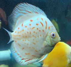 Photo gallery of Discus fish - Live Tropical Fish - Live Tropical Fish Discus Aquarium, Discus Fish, Aquarium Fish Tank, Aquariums, Tropical Freshwater Fish, Freshwater Aquarium Fish, Tropical Aquarium, Tropical Fish, Fish Gallery