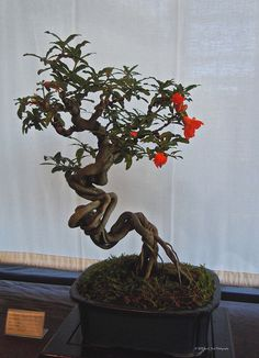 pomegranate bonsai | Pomegranate Bonsai | Flickr - Photo Sharing!