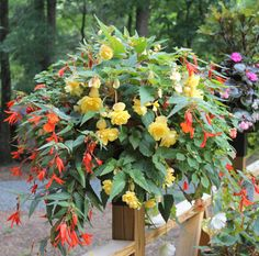 Shade container, begonia variety