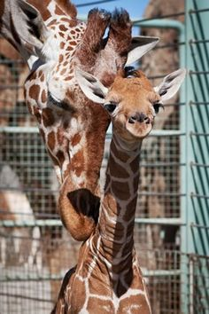 San Francisco Zoo welcomed a healthy female Reticulated Giraffe calf early in the morning of May At birth, the calf was 130 pounds and tall. Animal keepers report that the new calf has had positive interaction with the. Zoo Animals, Cute Baby Animals, Wild Animals, Beautiful Creatures, Animals Beautiful, San Francisco Zoo, Baby Animals Pictures, Animal Pics, Animal Photography