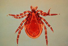 How to Recognize a Deer Tick and Protect Yourself Against Lyme Disease