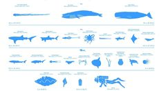 #Animals #Fish #Whale #Divers #Sea #Scale #WhiteBackground #Text #Shark #Turtle #Crabs #Walruses #Seals #Octopus #Squids #Jellyfish #Infographics #SeaSponge #Wallpaper