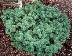 Nana ' Dwarf Balsam Fir - a small shade-loving evergreen shrub