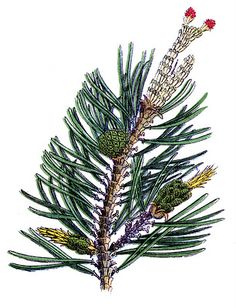 Vintage Botanical Graphic - Pine Branch & Cone #2 - The Graphics Fairy