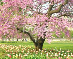 Spring time in Paris Spring Tree, Photo Tree, Flower Photos, Image Now, Royalty Free Stock Photos, Paris, Flowers, Montmartre Paris, Photos Of Flowers