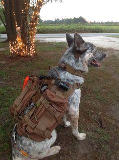 Casper my Australian Blue Heeler keeping watch in his Cynology War Labs vest and…
