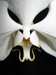 Orchid - looks like a Star Wars Storm Trooper in touch with his feminine side. :-)