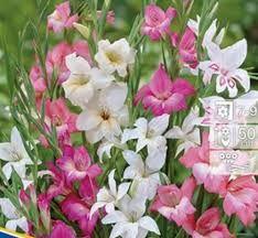 Gladiole Mini Mischung - Gladiolus Nanus – Google-Suche Mini, Google, Plants, Gladioli, Searching, Plant, Planets