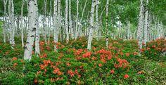 自然園と道を挟んだ反対側に位置するのが花木園。ここでは短い夏の間に、色鮮やかな高原の草花が目を楽しませてくれます。6月になると、八千穂高原を代表する花「レンゲツツジ」が見事に咲き誇ります。