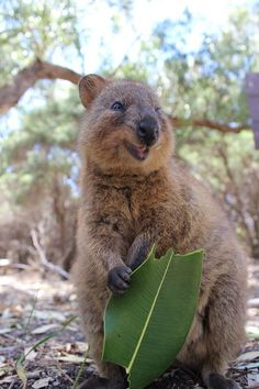 A Quokka, found on Rottnest Island, Western Australia, is really happy about his snack.