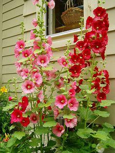 These have been growing up and down my street and I love them. Flower Beds, Flower Art, Hollyhocks Flowers, My Secret Garden, Dream Garden, Garden Inspiration, Beautiful Gardens, Garden Plants, Perennials