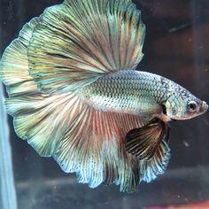 AquaBid.com - +++Best of copper-HM-Male+++