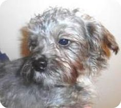 Bartonsville, PA - Shih Tzu Mix. Meet Pearson, a dog for adoption. http://www.adoptapet.com/pet/12273785-bartonsville-pennsylvania-shih-tzu-mix