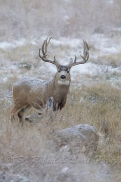 Trophy Mule deer buck