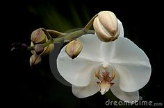orchid buds - Buscar con Google