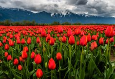 A field of tulips at the eastern end of the Lower Mainland. Fraser Valley, Tulip Festival, Tulip Fields, Tulips, Vineyard, Orange, Flowers, Plants, Photography