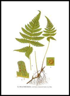 Kehystetty juliste, Saniainen kirjasta Nordens Flora.