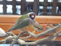 We have a brand new pair of Gouldian Finches in our aviary.  10/24/2014