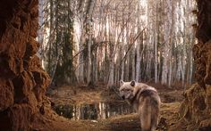 The gray wolf (Canis lupus) also known as the timber wolf or western wolf is a canid native to the wilderness and remote areas of North America, Eurasia, and northern, eastern and western Africa. Description from play.google.com. I searched for this on bing.com/images