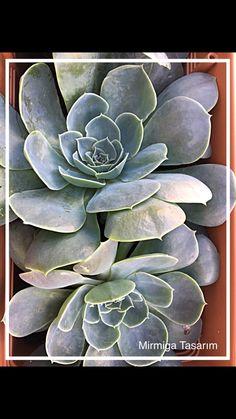 #kaktüs #cactus #suculent
