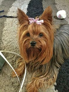 Cute Puppies, Cute Dogs, Cute Babies, Animal Pictures, Cute Pictures, Yorshire Terrier, Teacup Yorkie, Yorkshire Terrier Puppies, Yorkie Puppy