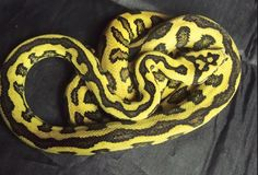 Jungle Jaguar Carpet Python