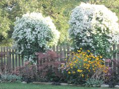 Sweet Autumn Clemitis on re-purposed ladders, Sept 2013