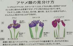 Image result for アヤメ、ショウブ、カキツバタ