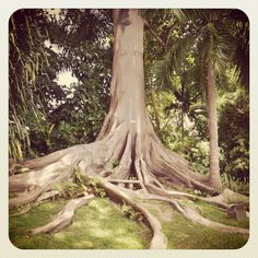 Gorgeous tree at Couples Sans Souci    http://couples.com/sans-souci/