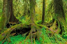A colonnade of western hemlock trees (Tsuga heterophylla) growing from a nurse log, Hoh Rain Forest, Olympic National Park, Washington USA / Click image to purchase a print or license