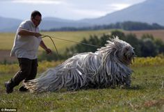 Funny pictures about The beautiful Komondor. Oh, and cool pics about The beautiful Komondor. Also, The beautiful Komondor. Giant Dogs, Big Dogs, Large Dogs, Cute Dogs, Dogs And Puppies, Doggies, Sheep Dogs, Hungarian Dog, Funny Animals