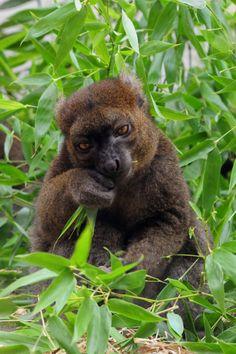 Greater bamboo lemur by markusOulehla