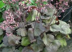 Heuchera 'Brown Sugar' from the Chelsea Gold Medal winning nursery Plantagogo, which is also the holder of the National Collection for Heuchera, Heucherella and Tiarella. Brown Sugar Homemade, Brown Sugar Pie, Brown Sugar Meatloaf, Brown Sugar Chicken, Brown Sugar Scrub, Brown Sugar Bacon, Brown Sugar Cookies, Brown Sugar Buttercream Recipe, Jenny Brown
