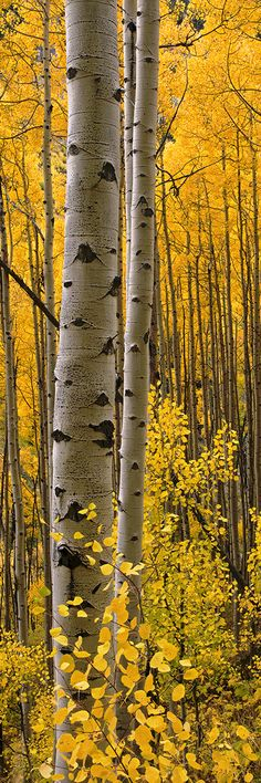 Intimacy Lite - by Barry Bailey Aspen Intimacy Lite ~ Autumn in the Four Corners, Unite States.Aspen Intimacy Lite ~ Autumn in the Four Corners, Unite States. Beautiful World, Beautiful Places, Beautiful Pictures, Nature Pictures, Aspen Trees, Birch Trees, All Nature, Nature Quotes, Tree Forest