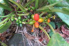 Aglaonema (Aglaonema crispum):Descrição, Cultivo, Paisagismo, Uso Ornamental