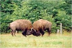 or bison bulls, the brief breeding season (rut, from June to September) results in making a maximum effort in a minimum of time. Bison bulls show extreme competition and this has consequences for the relationships between the bulls. The main objective is to study these intrasexual competitive relationships and mating strategies of American bison bulls in semi-natural conditions