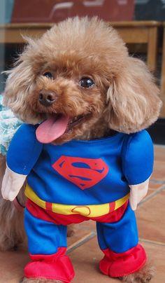 SUPER DOG!!! LOL #Superman#Dog#Cute#Poodle