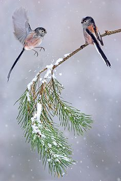 Long-tailed Tits in Snowfall. Photo by Ben Hall.