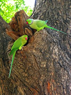 Rose-ringed Parakeets or Indian ring-necked parakeets.