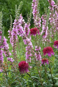 Pink Paradise╰ღ╮♥╭ღ╯ Echinacea and Lythrum salicaria 'Blush'