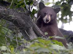 Mama bear, two cubs spend day in Boulder tree