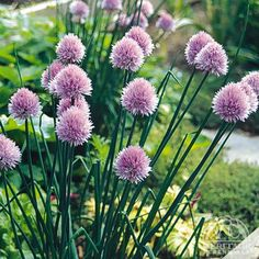 Allium Schoenoprasum, common Chives, One of the classic French herbs, the leaves are harvested anytime in the season. Pretty mauve flowers appear in late spring, which are also edible in salads. This plant does double duty in the perennial or herb garden, or in containers. Flowers are excellent for cutting, fresh or dried. Great for edging. Chives are inclined to seed themselves around, which can be prevented by removing the flower heads as they begin to fade. Easily divided in spring or…