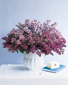 Lilacs are one of the most fragrant flowers in the world, making them a great option for arrangements around your home. Most often found in the spring and summer, they come in multiple colors (not just lilac) and types.