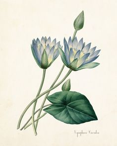 Blue Lotus Nymphaea Caerulea Botanical Art Print