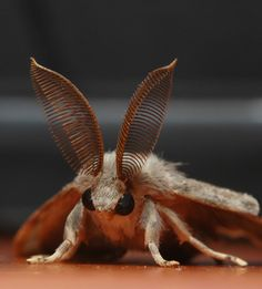 ✯ Gypsy Moth ..Lymantria dispar.. Photo By Halil Aydinlioglu .. an Adult Male✯