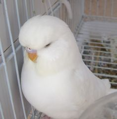 Double Factor Female English Budgie - Welcome to Budgies 101